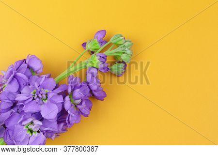 Flowers On A Orange Background. Matthiola Incana Isolated On Orange Background. Blue Flowers Isolate