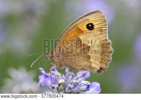 Gatekeeper Butterfly (pyronia Tithonus) On Lavender 'ashdown Forest' (lavandula Angustifolia)