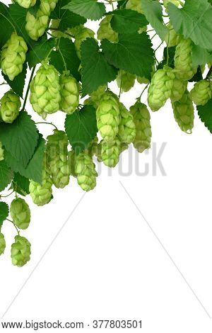Hop Cones Isolated On White Background. Green Hop Cones For Beer And Bread Production. Beer Brewing