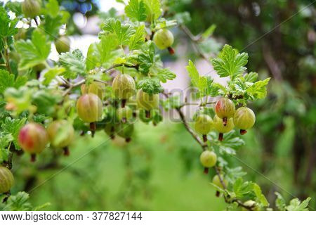 Bunch Of Ripe Gooseberries On A Branch. Fresh Green Gooseberries. Gooseberries Background.