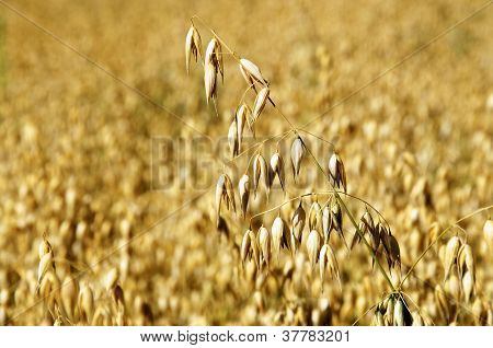 Ripe Oat On A Field