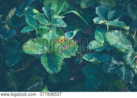 Infection Of Strawberry Leaves With Fungus. Strawberry Disease - Brown And Red Spots.
