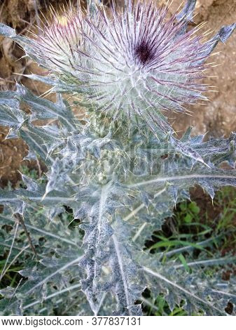 Prickly Mountain Bush Plant With Thorn Spikes Purple And White
