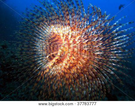 Sea Spirographus