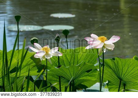 Close Up Of Two Delicate White Water Lily Flowers (nymphaeaceae) In Full Bloom On A Water Surface In