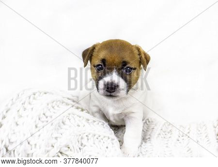 Cute Jack Russell Terrier Puppy Sitting Near A Knitted Bedspread On A White Background, Home Comfort
