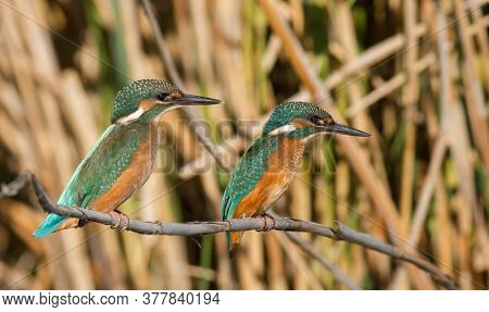 Common Kingfisher, Alcedo Atthis. Young Birds Perched On A Cane Stalk Above The River