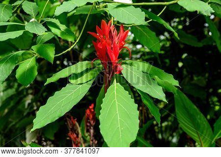 Vivid Red Flowers Of Canna Indica, Commonly Known As Indian Shot, African Arrowroot, Edible Canna, P