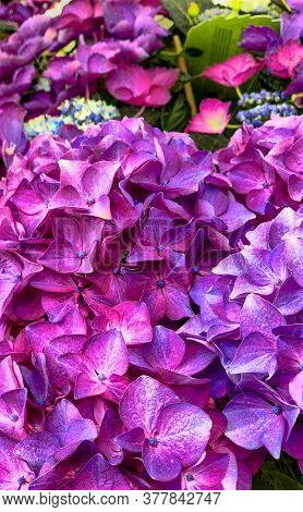 Vibrant Violet Colored Hortensia Flower Close Up, Natural Pattern Background . High Quality Photo