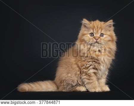 Fluffy Solid Red British Longhair Kitten, Sitting Side Ways. Looking Towards Camera With Curious Eye