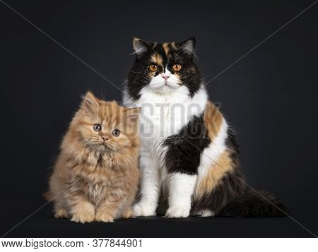 Fluffy Solid Red British Longhair Kitten, Sitting Beside Adult Tortie Mother. Looking Towards Camera