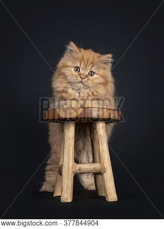 Fluffy Solid Red British Longhair Kitten, Standing Behind Little Wooden Stool. Looking Towards Camer