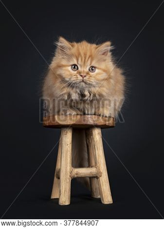 Fluffy Solid Red British Longhair Kitten, Laying Down On Little Wooden Stool. Looking Towards Camera