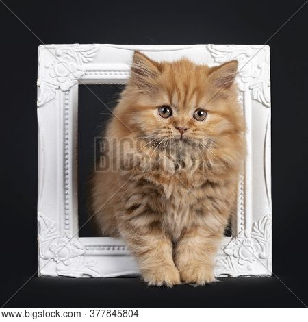 Fluffy Solid Red British Longhair Kitten, Standing Through White Photoframe. Looking Towards Camera.