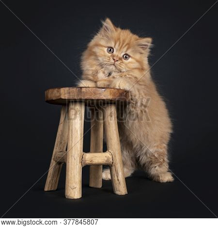Fluffy Solid Red British Longhair Kitten, Standing With Front Paws On Little Wooden Stool. Looking T