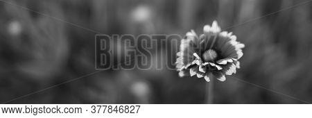 Bw Rudbeckia Flowers Grow In Summer Garden