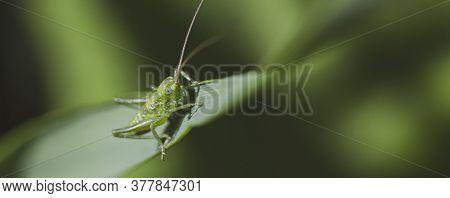 Green Locust On Grass. Macro Life Of Grasshoppers.