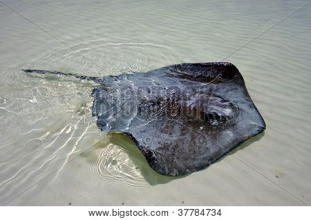 Manta In The Water