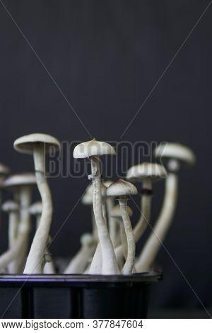Fungi Hallucinogen. Magic Shroom. Hallucinogenic Psychedelic Drug. Growing Albino A Strain.
