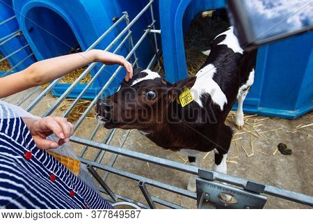 Babys Hand Touches And Strokes Young Curious Calf
