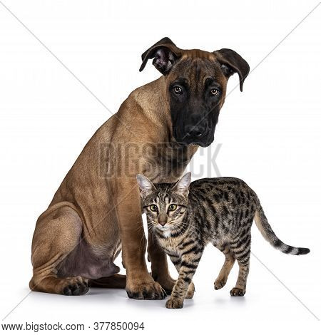 Handsome Boerboel / Malinois Crossbreed Dog, Sitting Side Ways. Savannah Cat Passing In Front Of Him