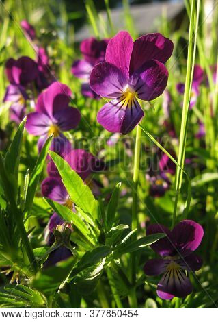 Bright Beautiful Purple Violet Flowers Among Green Grass Lit By Sun