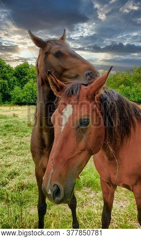A Close Up Of Two Brown Horses Standing On A Lush Green Field. High Quality Photo