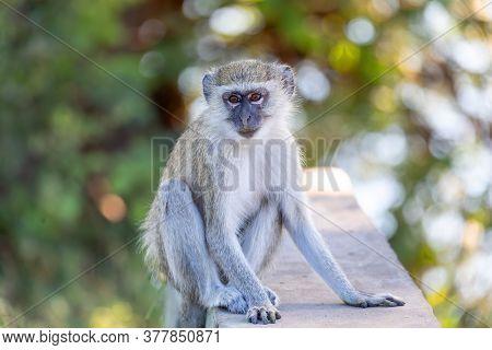 Vervet Monkey, Chlorocebus Pygerythrus In Chobe National Park, Botswana, Africa Safari Wildlife