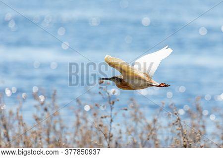 Bird Squacco Heron (ardeola Ralloides) Flying Over Chobe River, Chobe National Park, Botswana Wildli