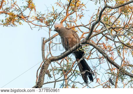 Grey Go-away-bird (corythaixoides Concolor), Nambwa National Park, Caprivi Strip, Namibia Africa Wil