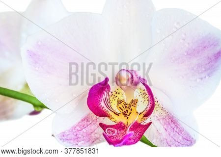 Beautiful Light Purple Phalaenopsis Orchid Flower, Known As Fluttering Butterflies, Against A White