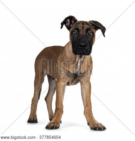 Handsome Boerboel / Malinois Crossbreed Dog, Standing Side Ways. Head Up, Looking Ahead With Mesmeri