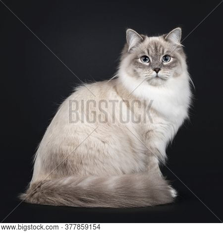 Pretty Neva Masquerade Cat Sitting Side Ways With Tail Around Body. Looking Straight At Camera With