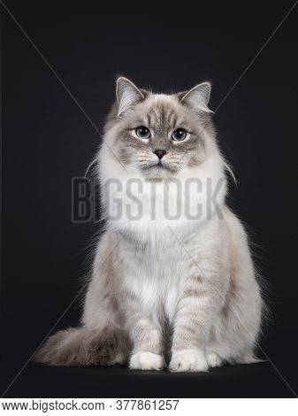 Pretty Neva Masquerade Cat Sitting Frontal. Looking Towards Camera With Light Blue Eyes. Isolated On