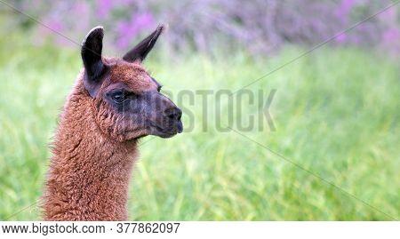 Lama In The Meadow. Graceful Llama On The Field. Llama At The Farm. Copy Space