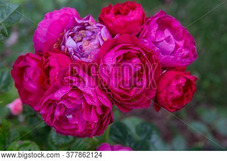 Blooming Rose In The Garden On A Sunny Day. Rose Ascot
