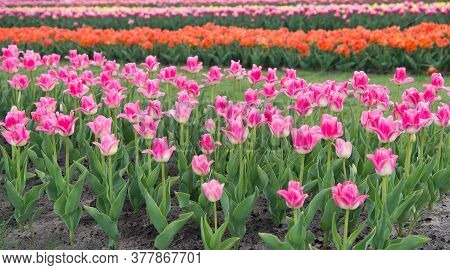 Gifts Of Nature. Blossoming Tulip Fields. Spring Landscape Park. Country Of Tulip. Beauty Of Bloomin