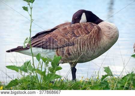 Wild Goose On The Lake. Goose By The Pond