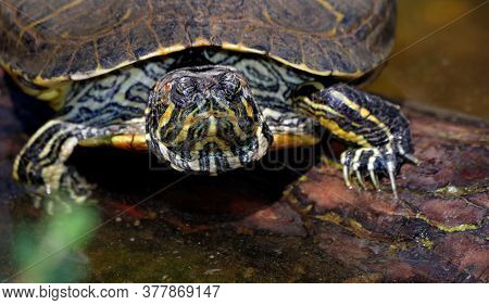 Turtle In A Pond Basking In The Sun