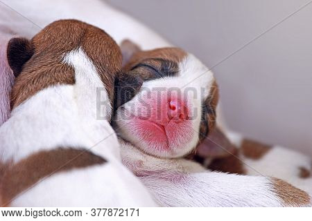 Newborn Cute Jack Russell Terrier Puppies In Natural Environment, Horizontal Format