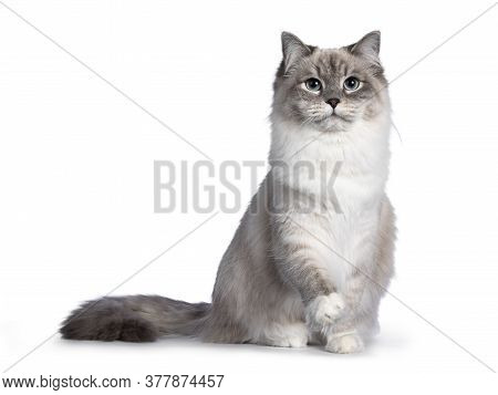 Pretty Neva Masquerade Cat Sitting Facing Front. Looking Straight To Camera With Light Blue Eyes. Is