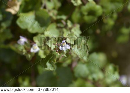 Kenilworth Ivy Small Flowers - Latin Name - Cymbalaria Muralis