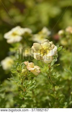 Shrubby Cinquefoil Bella Apple - Latin Name - Potentilla Fruticosa Bella Apple