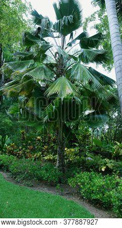 Tropical leaves. Tropical tree palm. Licuala grandis (Fan Palm)