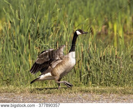 Canada Goose Strutting In Front Of Marsh Reeds.