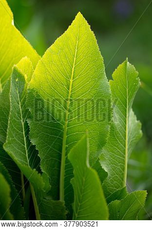 Green Leaves Of Horseradish On The Nature In The Summer. Background