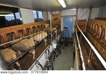 Milking Parlor For The Sheep