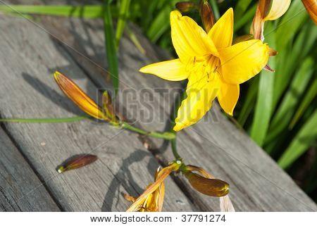 Yellow Daylily (hemerocallis Lilioasphodelus)