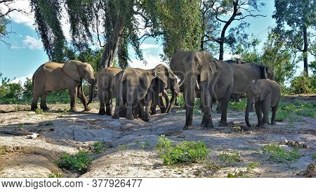 Large Family Of Elephants In The Savannah. A Group Of Adult Animals And Children Is Standing Against