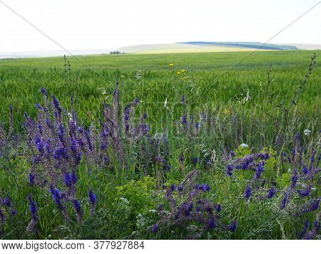 Sage Plant Lat. Salvia Officinalis . Background Made From Healing Herbs